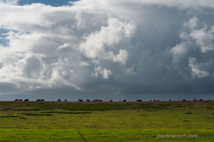 Cows and grass and incridible clouds